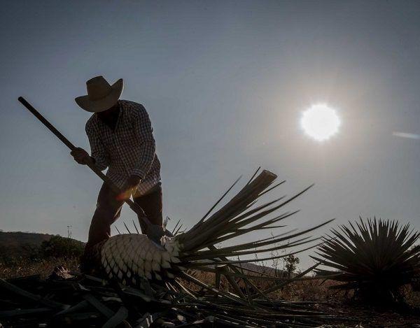 Junto con el Arroz Morelos, cuya Norma Oficial Mexicana que la regula su Denominación de Origen se publicó el 25 de enero del 2017 en el DOF, nuestro estado cuenta con dos de las 15 denominaciones de origen que existen en el país