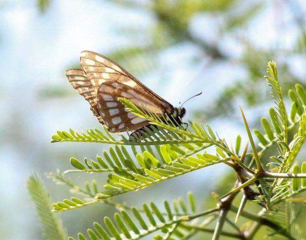 La publicación engloba alrededor de 200 de las cerca de 500 especies de mariposas que están presentes en la Sierra de Huautla, que, según los datos obtenidos por estos investigadores, representan del 2.3 al 2.9 por ciento del total de la fauna de las mariposas diurnas